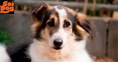 I Am Collie – Will You Please SPONSOR Me? I arrived at the Soi Dog shelter many years ago because I had been dumped by my owners and couldn't survive on my own. I suffer from epilepsy, which causes me to have things called seizures. Because I am a collie cross, I may have suffered some neurological damage due to an inappropriate worming injection when I was little. https://www.soidog.org/en/sponsor-a-dog-or-cat/?utm_source=facebook&utm_medium=FBO_L_Collie&utm_campaign=Sponsor