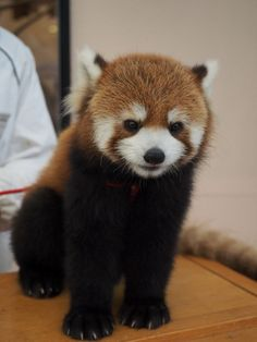 Looks like a cuddly bear.  This babies face is the sweetest thing.  Red Panda at the Adventure World in Wakayama prefecture, Japan
