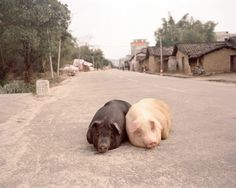 two pigs sleeping in the middle of the street.Too cute!