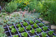 Lettuces in a trellis