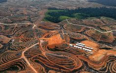 Tearing down the ancient Forrest(Borneo) for palm oil