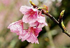 Cerejeira - Do fim do inverno ao começo da primavera, as flores da árvore símbolo da cultura japonesa desabrocham, principalmente em regiões de clima frio. Cresce até 10 metros de altura