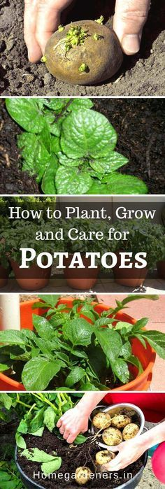 How to Plant, Grow and Care for Potatoes Easily #Potatoplant #growpotatoes #potatoes #Potatoplantcare