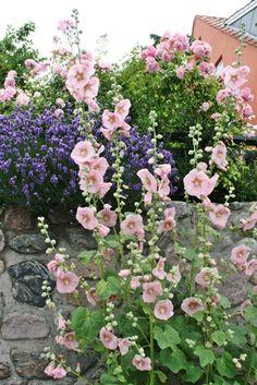 gorgeous hollyhocks - a cottage garden look.