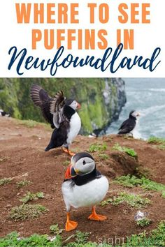 Oh my goodness! A puffin is a funny bird that is both hilarious and adorable to see in person. Learn how to see puffins -- for FREE -- on the Bonavista pen Newfoundland Canada, Newfoundland And Labrador, Backpacking Canada, Terra Nova, New York Graffiti, East Coast Travel, Canada Holiday, Rivage, Norte