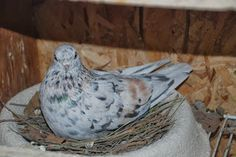 portuguese tumbler pigeons for sale - Google Search