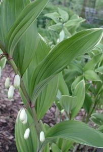 Polygonatum odoratum var. pluriflorum 'Variegatum' - Weißrandiges Salomonssiegel European Garden, Shade Garden, Perennials, Gardens, Plants, Outdoor Gardens, Plant, Perennial, Garden