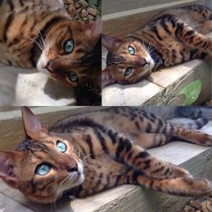 Her eyes are beyond awesome... like a mini Bengal with the ocean in her eyes!