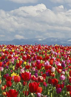 Tulip Festival at Wooden Shoe Tulip Farm in Oregon Tulips Flowers, Wild Flowers, Planting Flowers, Spring Aesthetic, Flower Aesthetic, Flower Feild, Beautiful Flowers, Beautiful Places, Tulip Festival