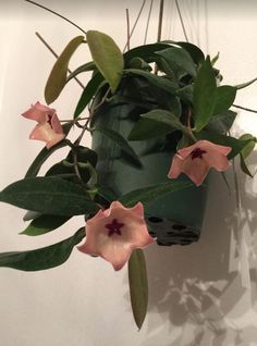 Hoya Patella, easy care succulent houseplant. Hoya Care tips: https://www.houseplant411.com/houseplant/hoya-plant-how-to-grow-care-tips