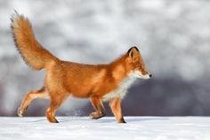 Рыжая лисица бежит по снегу задрав хвост