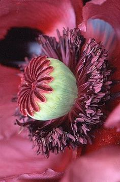 PAPAVER ORIENTALE 'PATTYS PLUM' Flora Flowers, Exotic Flowers, Tropical Flowers, Amazing Flowers, Colorful Flowers, Flower Pictures, Watercolor Flowers, Flower Art, Planting Flowers