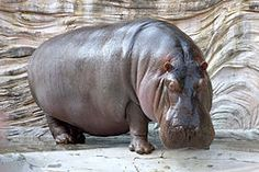"Hippopotamus amphibius, or hippo, from the ancient Greek for ""river horse"", is a large, mostly herbivorous mammal in sub-Saharan Africa, and one of only two extant species in the family Hippopotamidae (the other is the pygmy hippopotamus)."