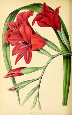 Gladiolus × colvillei [as Gladiolus insignis] An cross of G. tristis and G. It is still sold today. A white form, 'The Bride' was introduced in Magazine of botany and register… (Paxton, J. Vintage Botanical Prints, Botanical Drawings, Antique Prints, Illustration Botanique, Illustration Blume, Botanical Flowers, Botanical Art, Gladiolus Flower, Gladiolus Tattoo