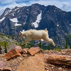 This little mountain goat is ready for the weekend. Found on western public lands like Glacier National Park in Montana, mountain goats thrill visitors with their acrobatic feats. Often seen on steep, rocky slopes, they easily balance on rocks and scramble down cliffs in search of tasty grasses, mosses and lichens.  Photo courtesy of Steve Muller.