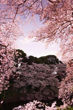 Cherry Blossom, Tokyo, Japan 夜桜 ~桜の額縁~ #桜 #CherryBlossom