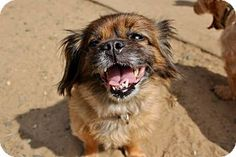 North Haledon, NJ - Pekingese Mix. Meet Peekaboo - Foster Home Needed a Dog for Adoption.Peekaboo is a 4-5 year old Pekenese who was rescued from a local kill shelter. She is under 10 pounds and loves to take walks. She is looking for a family to give her the love and security that she needs and deserves in her life. I'm being cared for by: A Pathway to Hope