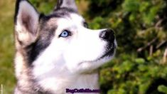 Dog Selfie and Cat Selfie : Siberian husky dogs Animals And Pets, Baby Animals, Funny Animals, Cute Animals, Alaskan Husky, Siberian Husky Dog, Husky Husky, Husky Dog Pictures, Most Beautiful Dogs