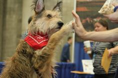 A Berger Picard giving a high five at AKC Meet the Breeds.