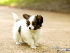 """""""A little heartbeat at my feet,"""" I've wanted a papillon puppy for y e a r s."""