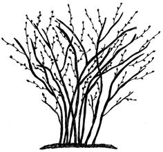 i need to prune my bluberry bushes, yes bushes. we have four that do really well in SF. Really nervous about cutting off too much and killing them. wish me luck! Pruning Blueberry Bushes, Fruit Bushes, Fruit Trees, Love Garden, Lawn And Garden, Garden Tips, Fruit Garden, Edible Garden, Permaculture