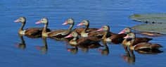 Black-bellied_whistling_ducks_(Dendrocygna_autumnalis).jpg (5203×2114)