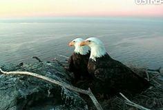 Bald Eagle Nest On Catalina Island