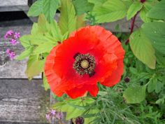 Red Four Forty Two Poppy