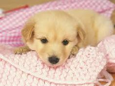 Lovely Puppy Portraits - Studio Shots of Cute puppies - Loveable Golden Retriever Puppy - Cute Golden Retriever Puppies Photos 22 Free Puppies, Cute Dogs And Puppies, Puppies Gif, Puppy Images, Puppy Pictures, Puppy Backgrounds, Animals And Pets, Cute Animals, Wild Animals