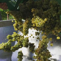 The #harvest2015 #vendemmia2015 goes on #vermentino #gold #grapes #fattoriasardivermentino #lecicale @roseseason @fattoriasardi #collinelucchesi #toscana #lucca #cantina #vertourmer