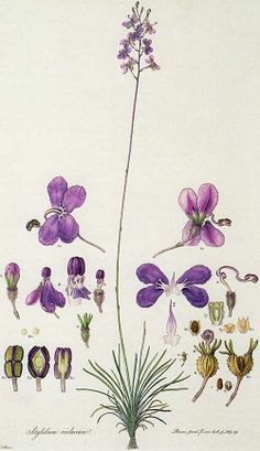 This hand-colored lithograph by Ferdinand Bauer shows the Stylidium violaceum, commonly known as triggerplants. I like botanicals that show the parts of the plants and have diagrams. Illustration Blume, Nature Illustration, Botanical Illustration, Botanical Flowers, Flowers Nature, Botanical Art, Vintage Botanical Prints, Botanical Drawings, Art Floral