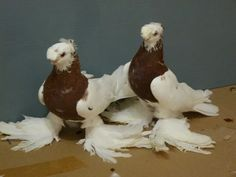 голуби декоративные: 11 тыс изображений найдено в Яндекс.Картинках Homing Pigeons, Pigeon Breeds, Nature Photography, Bird, Wings, Animals, Pigeon, Animales, Animaux