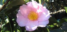 As a foundation shrub, or a specimen plant, camellias offer striking green foliage, elegant shaping, and brightly-colored blooms that make them one of the mainstays of the year-round garden. Here's what you need to know to grow this nearly carefree shrub.