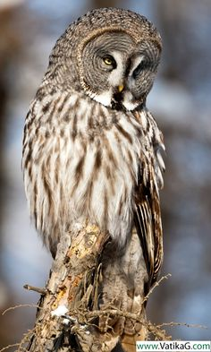Download Owl live wallpapers - Android live wallpapers for mobile.