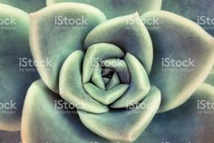 Close up Succulent royalty-free stock photo. succulent, vetplant, plant, leaves, pattern, art, texture, green, purple, flower, flora,  rosette, decoration, design, home, houseplant, rustic, interior, close-up, top-view, above, grow,  growth, life, gift, bloom, floral, ornamental, beauty, beautiful, botany, arid, desert, petals, nature, natural, garden