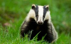 Badgers | This battle for badgers is just another class war