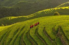 Rizières en terrasses de Longji, Chine : procession sur l'échine du dragon Harmonieusement agencées suivant l'art du feng shui, ces rizières en terrasses se déploient depuis cinq siècles sur les flancs des collines de Longji, (