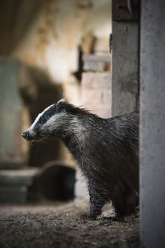 Amazing photos of wild animals living in abandoned house in the woods Forest Creatures, Woodland Creatures, Woodland Animals, Badger Illustration, Animals And Pets, Cute Animals, Wild Animals, Animal Habitats, Abandoned Houses