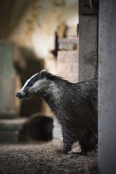 Badger by Kai Fagerström