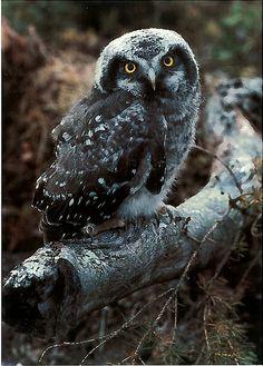 Hiiripöllö - Surnia ulula - Hawk Owl - not available. From Finland. Owl Bird, Pet Birds, Land Of Midnight Sun, Owl Species, Nocturnal Birds, Owl Pictures, Owl Always Love You, Beautiful Owl, Cute Owl