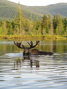 Matt and I dream of going to Maine and seeing a moose and having a fresh lobster dinner all in one day!