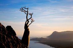 dragontree   socotra   foto: mark w. moffet