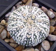 Astrophytum superkabuto SELECTED