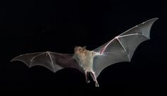 While others can glide, bats are the only mammals capable of continued flight.