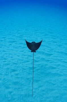 Have seen this diving, truly spectacular!  The rays are so graceful