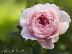 Rose an Schokominze