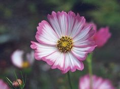 Plants are four feet tall. The large blooms are white with a deep rose/pink picotee edge. Some blooms are also splashed or striped with crimson highlights.The foliage is finely cut, and the plants bra