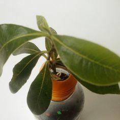 BOKOK SOLOUNO con mini cerezo