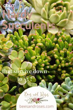 Hardy succulents are some of the toughest plants out there. They are beautiful as well. Read on to learn more about these plants and which one would be good for your place. #hardysucculents #succulenttips #plants #hardyplants #beesandrosesblog Types Of Succulents, Hanging Succulents, Growing Succulents, Succulents In Containers, Cacti And Succulents, Succulent Care, Succulent Terrarium, Succulent Wedding Centerpieces, Succulent Landscaping