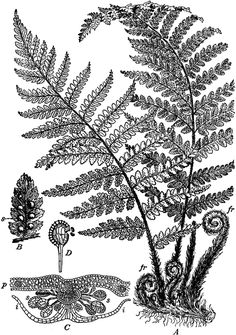 pacific northwest fern tattoo - to go with orchids and peacock feather Illustration Botanique Vintage, Botanical Illustration, Fern Plant, Plant Art, Botanical Tattoo, Botanical Prints, Nature Tattoos, Body Art Tattoos, Tatoos